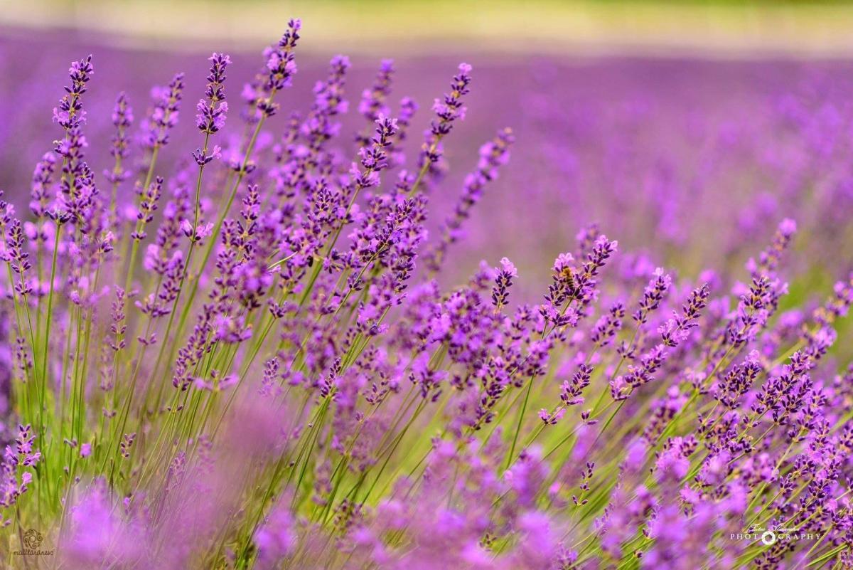 Apa florală de lavandă vindecă tenul gras
