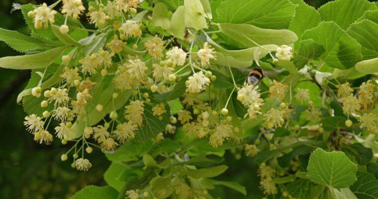 Apa florală de flori de tei vindecă tenul obosit şi sensibil