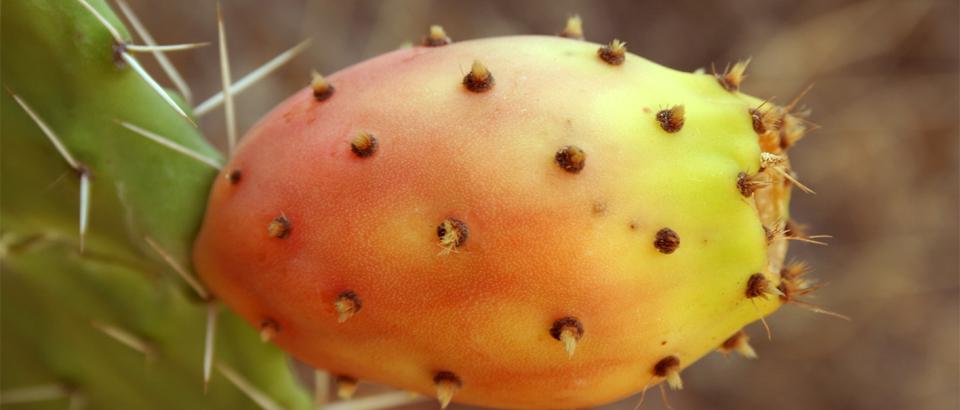 Uleiul de cactus oriental – lupta pentru un trai mai bun