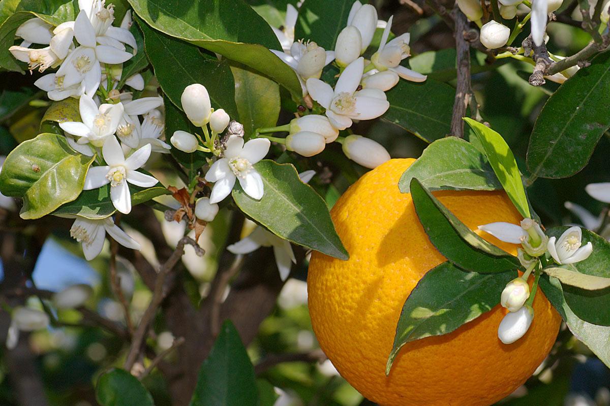 Apa florală de flori de portocal şi beneficiile sale pentru ten