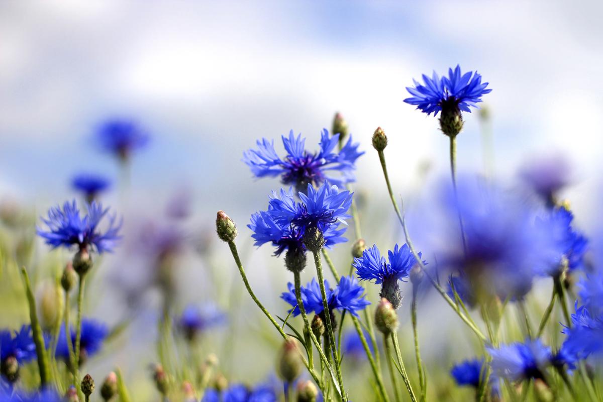 Apa florală de albăstrele -tratament pentru ochi obosiţi